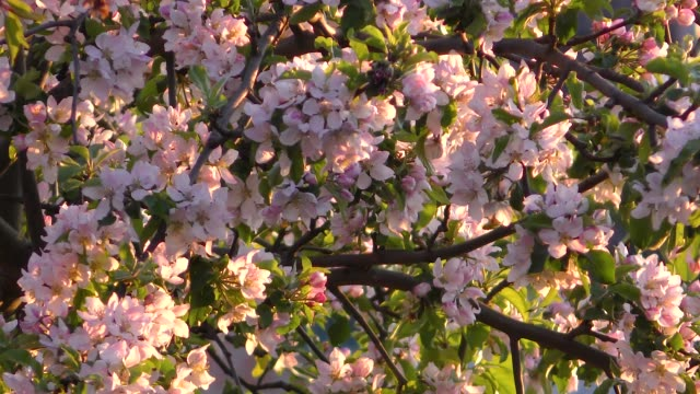 Blooming apple tree background video