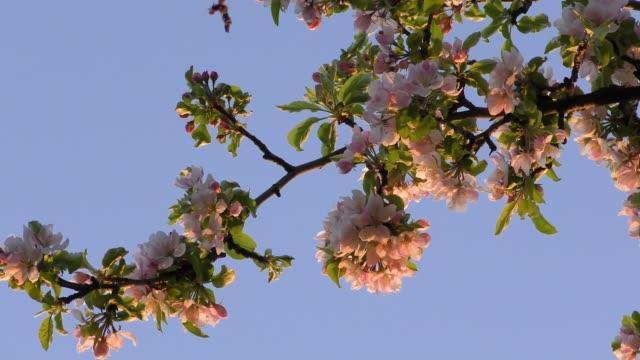 Blooming apple tree branch video