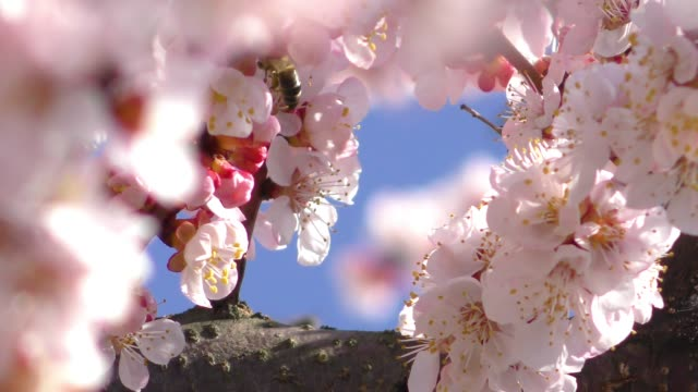 Blooming apricot tree and flying bee video