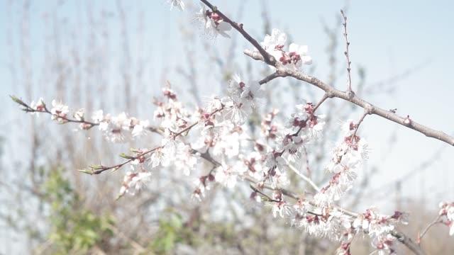 blommande aprikosträd, gren med små vita blommor i början av våren - fruktträdgård bildbanksvideor och videomaterial från bakom kulisserna