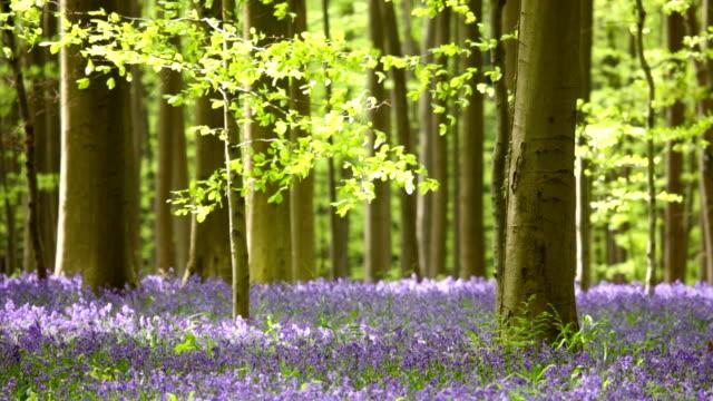Éclosion d'une fleur Jacinthe des bois Forêt de Hallerbos en Belgique - Vidéo