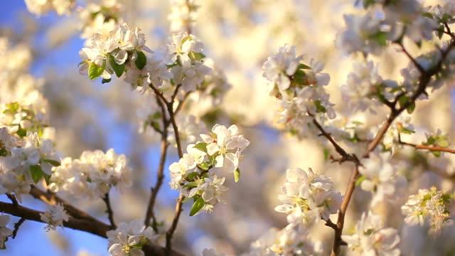 en blommande gren av äppelträd våren med lätt vind. blommande apple med vackra vita blommor. gren av äppelträd i blom under våren i solsken trädgård. - äppelblom bildbanksvideor och videomaterial från bakom kulisserna