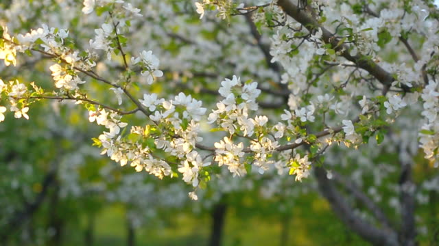 a blooming branch of apple tree in spring with light wind. blossoming apple with beautiful white flowers. branch of apple tree in bloom in the spring in sunshine garden. - цветение яблони стоковые видео и кадры b-roll