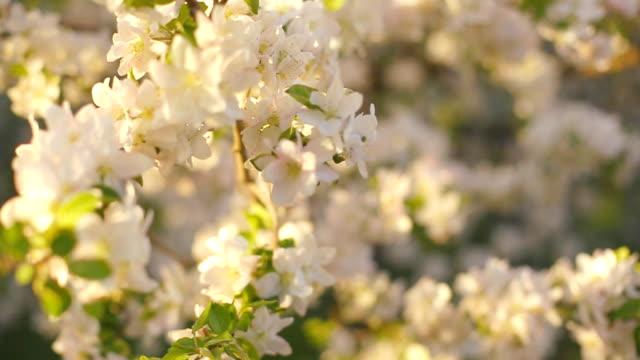 en blommande gren av äppel träd på våren med lätt vind. blommande äpple med vackra vita blommor. gren av äppel träd i blom på våren i solsken trädgård. - äppelblom bildbanksvideor och videomaterial från bakom kulisserna