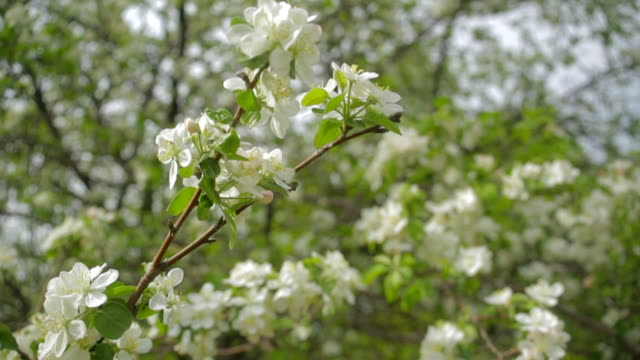 a blooming branch of apple tree in spring with light wind. blossoming apple with beautiful white flowers. branch of apple tree in bloom in the spring in sunshine garden - цветение яблони стоковые видео и кадры b-roll