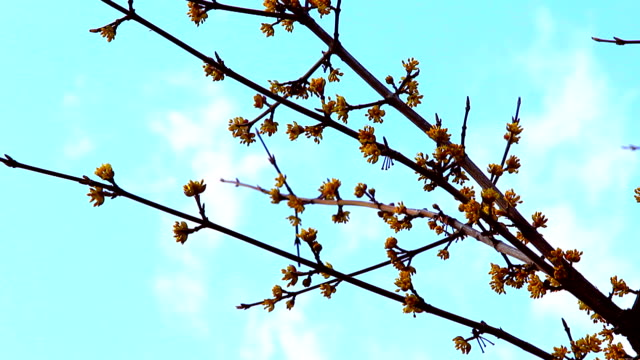 blooming branch on the sky background video