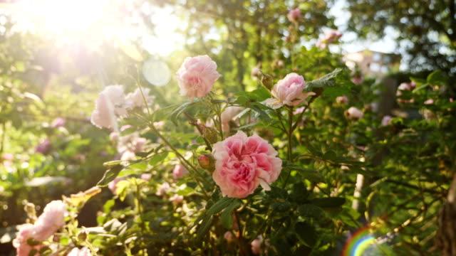 blooming bush of a pink rose - куст стоковые видео и кадры b-roll
