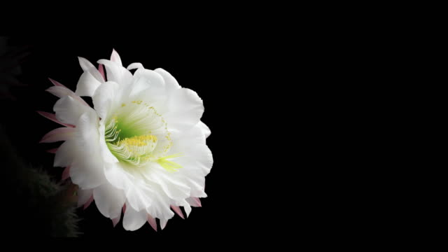 Blooming Cactus Flower - 4K video