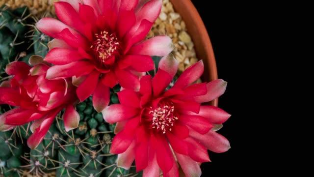 vídeos de stock e filmes b-roll de blooming cactus flower gymnocalycium baldianum 4k - três objetos
