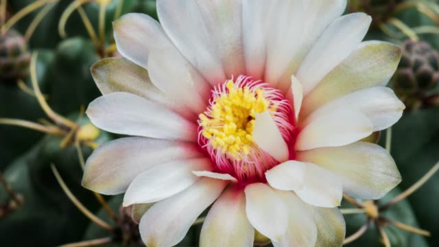 blooming cactus flower gymnocalycium baldianum 4k t/l - fiori video stock e b–roll