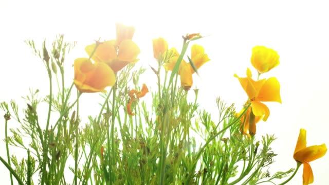 Blooming California Poppy Flowers.