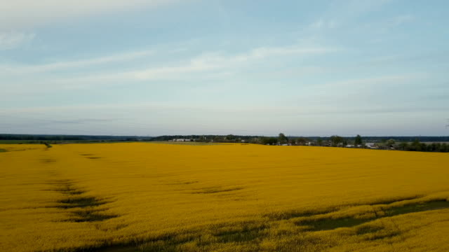 Blooming canola field skyline 4K drone view. Ripe oilseed rapeseed against blue sky rural panorama. Idyllic aerial shot video