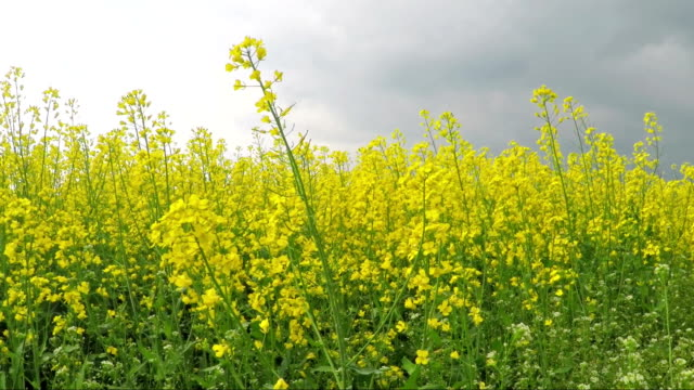 blooming canola field - canola video stock e b–roll