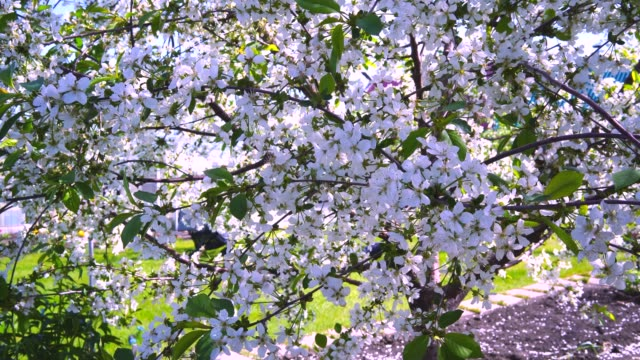 4K. Blooming cherry branches sway in the wind