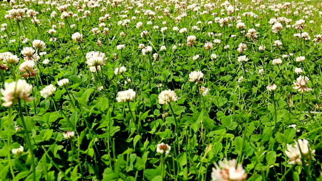Blooming clover meadow video