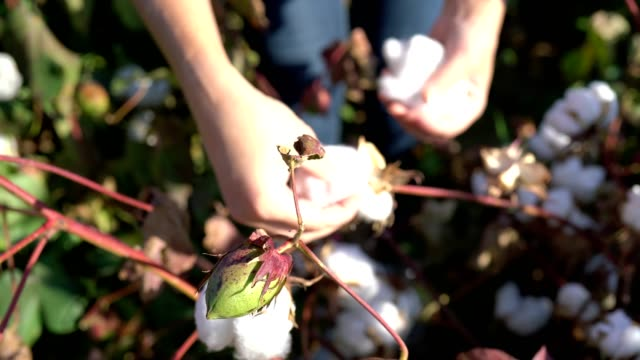 Blooming cotton field, evaluates crop, before harvest