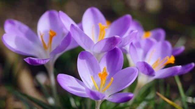 vidéos et rushes de crocus de floraison au printemps - crocus