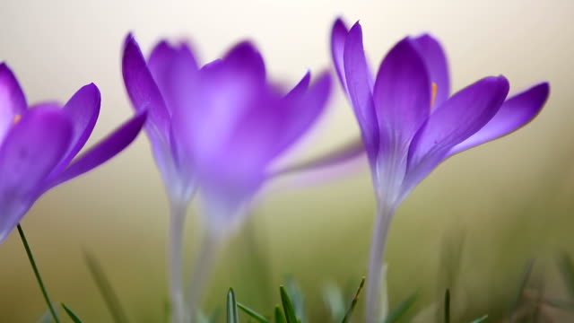 blooming crocus meadow with soft focus video