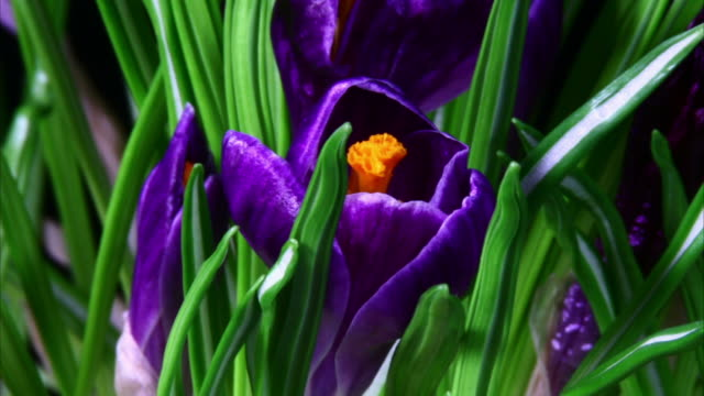 vidéos et rushes de éclosion d'une fleur crocus - crocus
