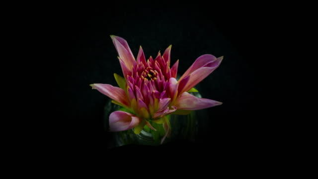 Blooming Dahlia video