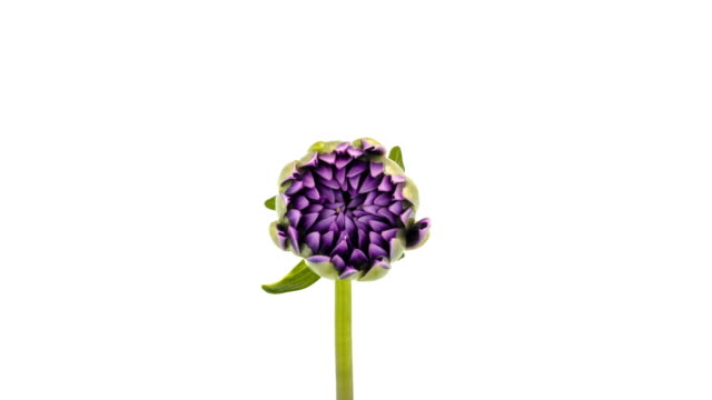 blooming dahlia - fiori video stock e b–roll