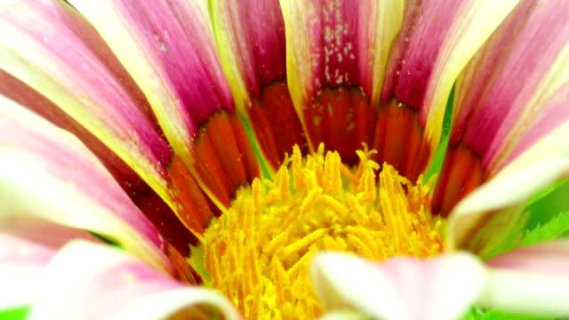 цветущие маргаритки - нивяник стоковые видео и кадры b-roll