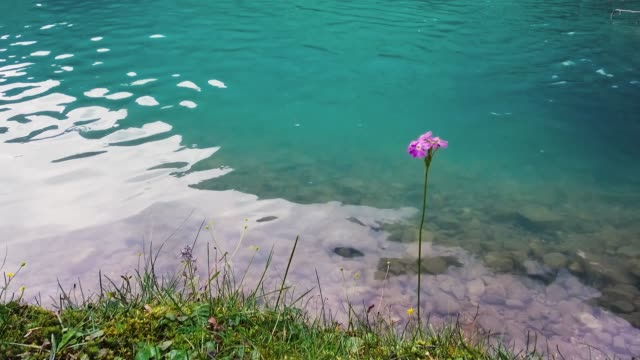 Blooming Dianthus on waterside