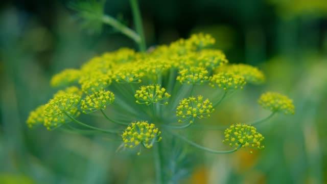stockvideo's en b-roll-footage met bloeiende dillegele bloemen die in de wind in de tuin slingeren. venkelbloei. - venkel