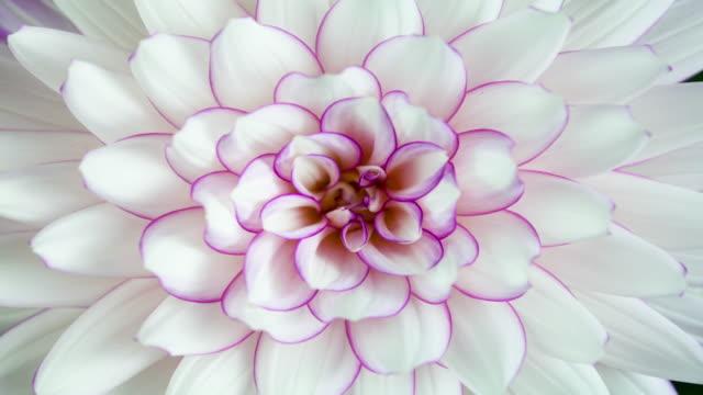 vidéos et rushes de blooming elegant white dahlia closeup - botanique