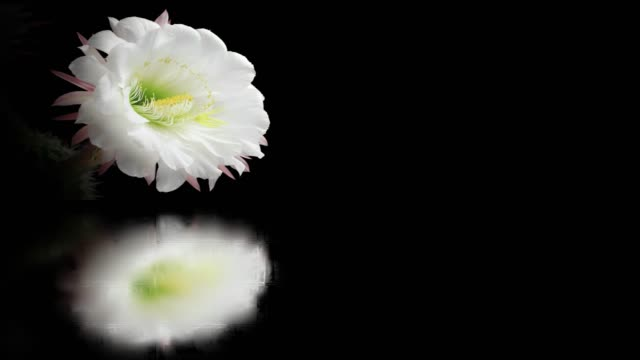 blooming flower film montage with mirror water reflection - passiflora video stock e b–roll