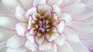 istock Blooming Flower Purple and White Dahlia Macro Closeup 1158706618