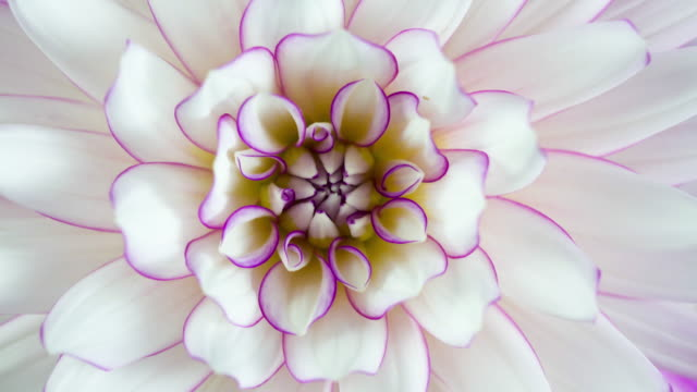vídeos de stock e filmes b-roll de blooming flower purple and white dahlia macro closeup - violeta flor