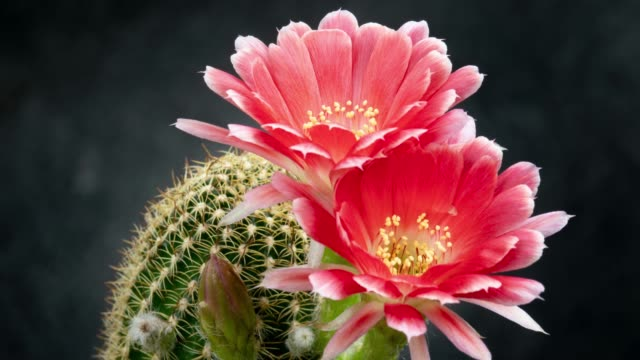 Blooming Flower Timelapse - Lobivia