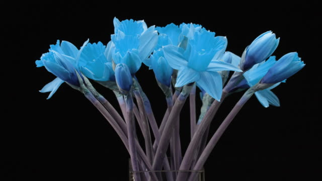 Blooming Flowers. Amazing Time Lapse Sequence