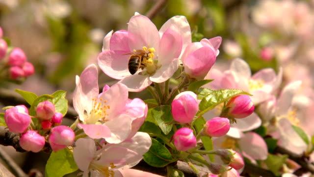 blooming flowers of apple and bee - äppelblom bildbanksvideor och videomaterial från bakom kulisserna