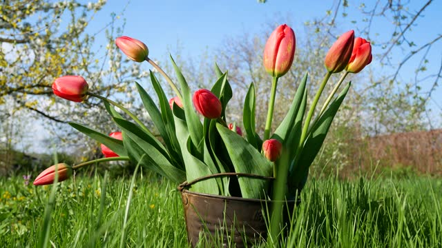 Blooming flowers of red tulips in a vintage bucket in the garden