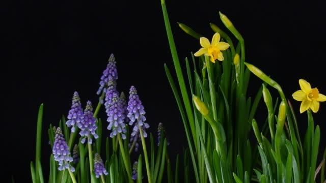 Blooming flowers over black video