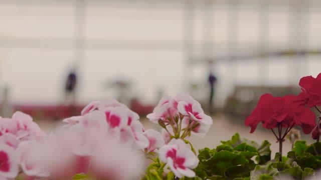 blühende geranie in einem großen modernen gewächshaus. geranien blüht aus nächster nähe. modernes gewächshaus. gewächshaus mit glaser decke - gewächshäuser stock-videos und b-roll-filmmaterial