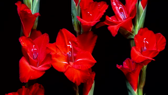 Blooming Gladiolus video