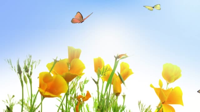 Blooming Golden Poppy Flowers and Butterflies