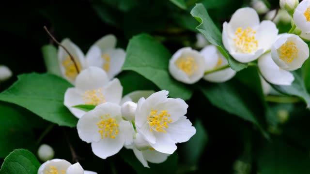 blühende jasminblüten auf einem ast - jasmin stock-videos und b-roll-filmmaterial