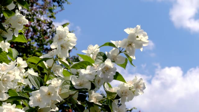 Blooming jasmine in the garden.