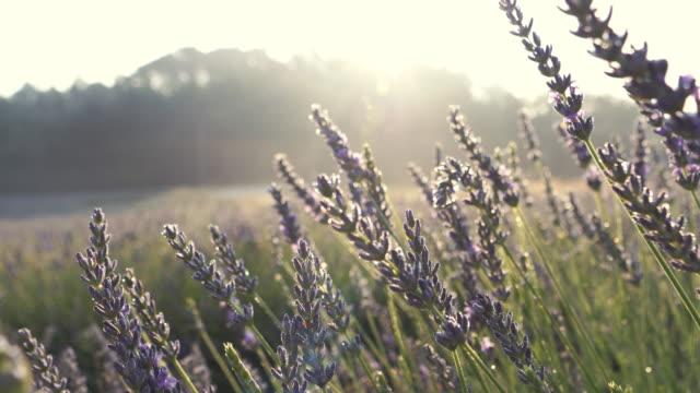vídeos de stock e filmes b-roll de blooming lavender - lavanda planta