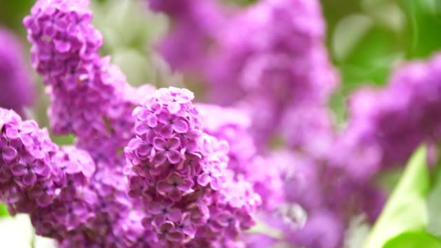 blooming lilac sways in the wind