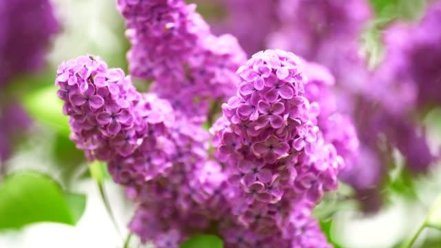 vidéos et rushes de floraison lilas se balance dans le vent - en botte ou en grappe