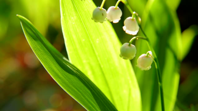 blooming lily of the valley video