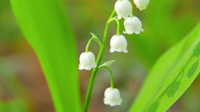 vídeos de stock e filmes b-roll de blooming lily of the valley - maio