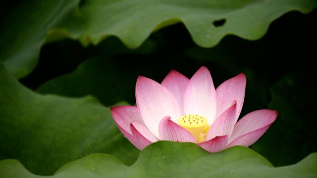 Blooming lotus flower in the pond stock video more clips of 2018 blooming lotus flower in the pond stock video more clips of 2018 1030763706 istock mightylinksfo