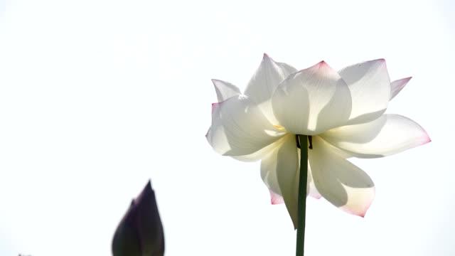 Blooming Lotus flower in the pond