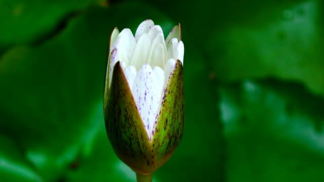 Blooming Lotus (Time-lapse) video